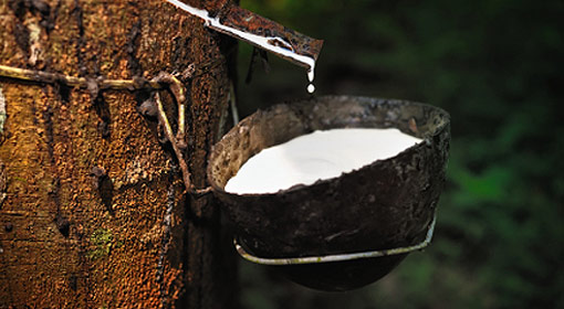Получение каучукового сока